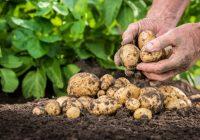 Tot ce trebuie sa stii despre irigarea cartofilor